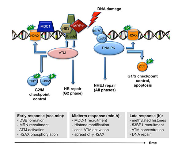2 Role Of Gfi1 As A Modulator Of The Atmdna Pk Dna Damage Response Pathway on immune cartoon